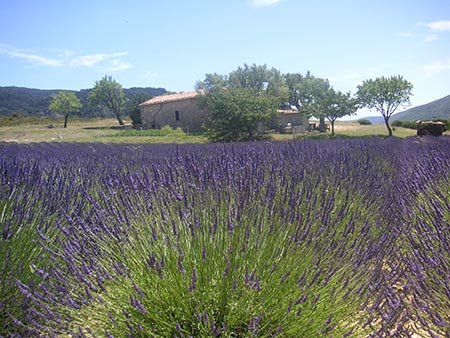 Theosophy Our Unity 6 Lavender Field Provence France 021