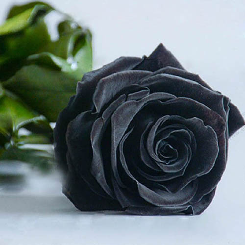Tribute O Black Rose